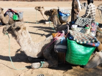 Dromedarios preparados para partir - Zagora (Marruecos)