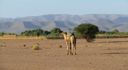 Dromedario en el valle del Draa (Marruecos)