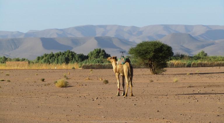 Dromedario con trabas en el Sáhara