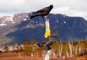 Currawong - Overland Track (Tasmania)