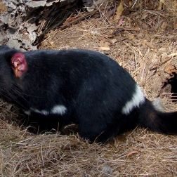 Demonio de Tasmania - Tasmania