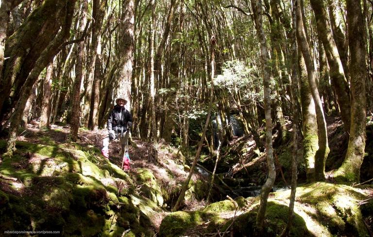 Rainforest - Overland Track (Tasmania)