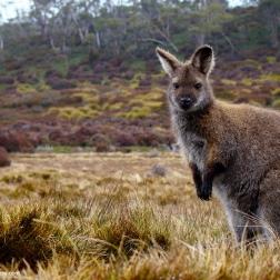 Wallabie - Overland Track (Tasmania)