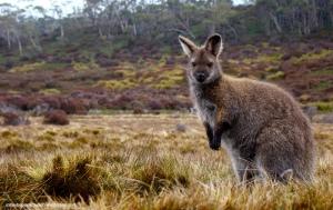 Wallaby - Overland Track (Tasmania)