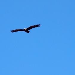 Águila - Heysen Trail (Australia)
