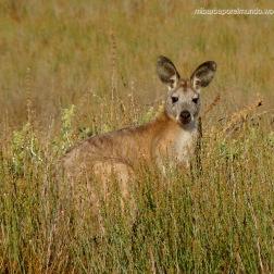 Canguro rojo entre la hierba - Heysen Trail (Australia)