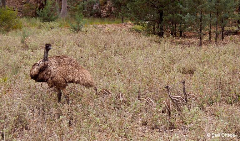 Emú con crías - Wilpena Pound (Australia)