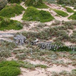 Esqueleto de ballena jorobada - Kangaroo Island (Australia)