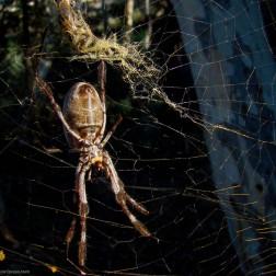 Golden silk orb-weaver - Nelphila - Heysen Trail (Australia)