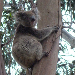 Koala en eucalipto - Kangaroo Island (Australia)
