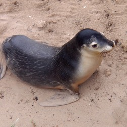 León Marino Australiano - Seal Bay (Australia)