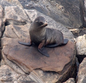 New Zealand fur-seal - Kangaroo Island (Australia)