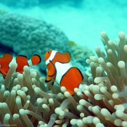 Anémona y peces payaso - Great Barrier Reef (Australia)