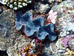 Cocha gigante - Great Barrier Reef (Australia)