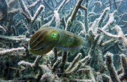 Cuttle fish - Great Barrier Reef (Australia)