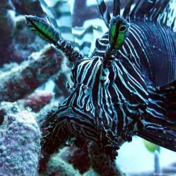 Lion fish - Great Barrier Reef (Australia)