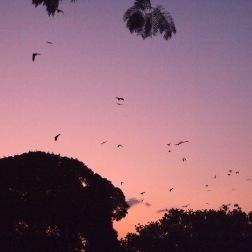 Murciélagos - Cairns (Australia)