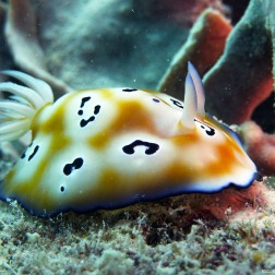 Nudibranquio - Great Barrier Reef (Australia)