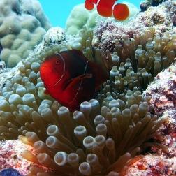 Peces payaso y anémona - Great Barrier Reef (Australia)