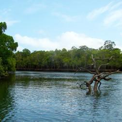 Manglar - Daintree National Park (Australia)