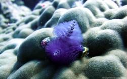 Spirobranchus Giganteus - Great Barrier Reef (Australia)