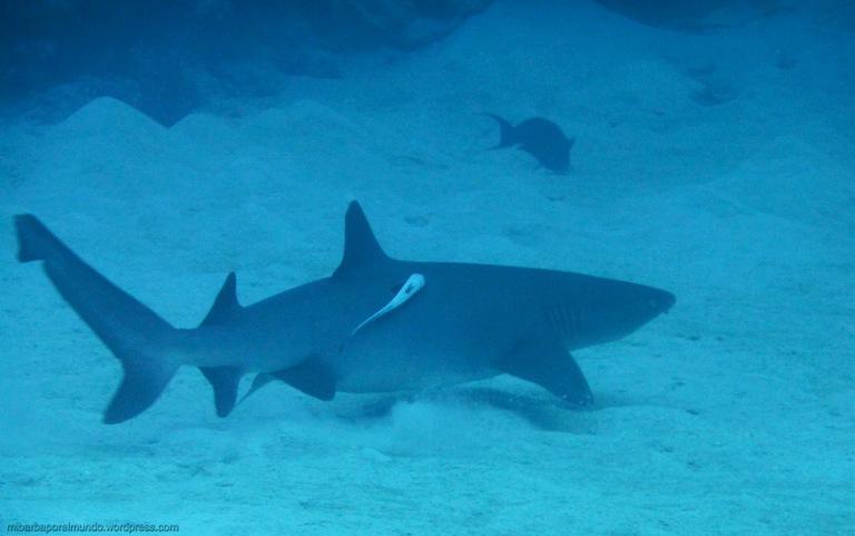 White fin Shark - Great Barrier Reef (Australia)