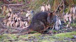 Pademelon con pájaro - Overland Track (Tasmania)