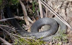 Tiger Snake - Overland Track (Tasmania)