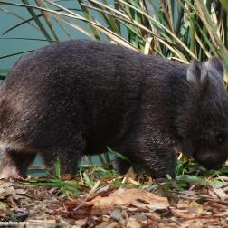 Un Wombat - Tasmania