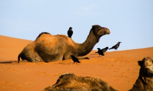 Dromedarios en el Sahara