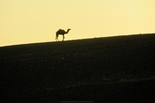 Dromedario en el Sáhara