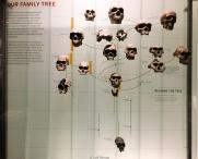 Árbol genealógico del Homo Sapiens - Museo de Historia Natural - Nueva York