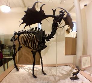 Megaloceros - Museo de Historia Natural - Nueva York