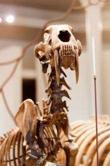 Dientes de sable en el Museo de Historia Natural - Nueva York
