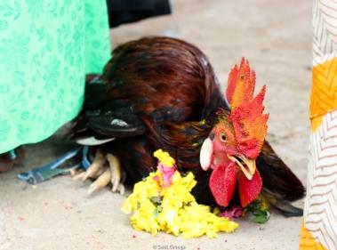 Pollo que sacrificarán en la festividad de Shiva