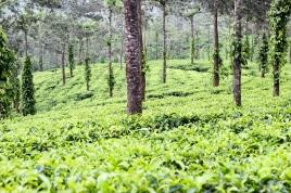 Plantación de té en Kerala - India