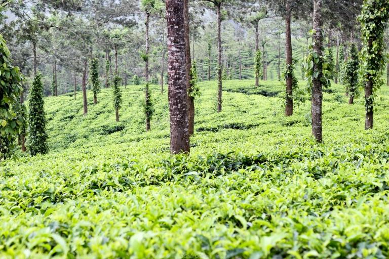 Plantación de té negro - Thekkady - Kerala