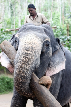 Elefante indio y su Mahout - Kerala - India
