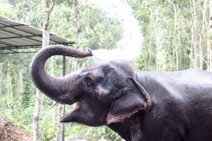 Elefante indio en Kerala - India