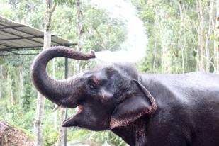 Elefante indio - Kerala - India