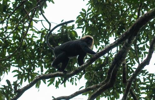 Monos en el Parque Periyar - Kerala - India