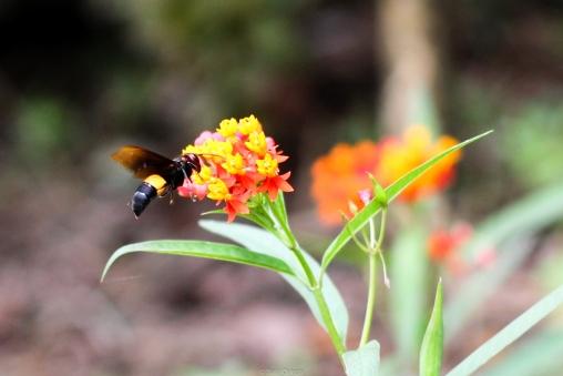 Avispa en jardín de especias - Thekkady - India