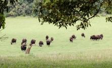 Búfalo indio en el Parque Periyar - Kerala - India