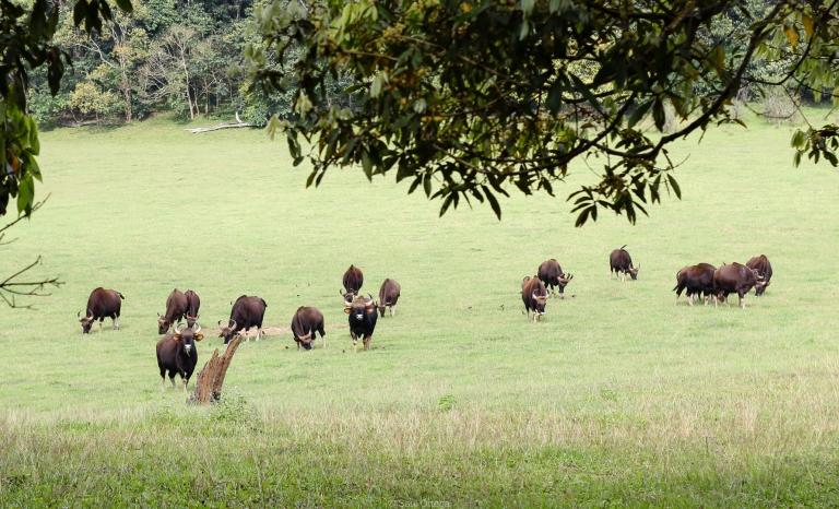 Búfalos indios en el parque nacional Periyar - Kerala - India