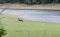 Ciervo en el Parque Periyar - Kerala - India