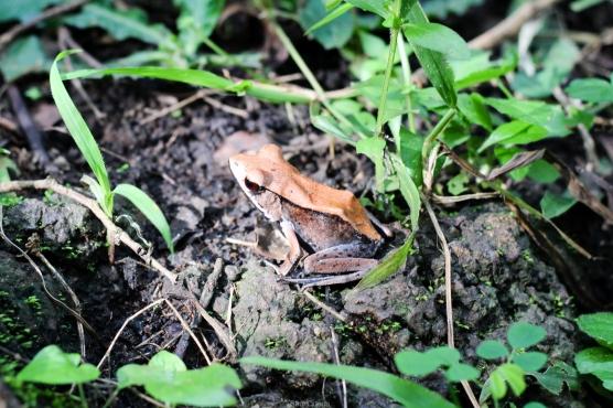 Rana en el Parque Nacional Periyar - Kerala - India
