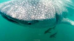 Saul Ortega - whale shark 1