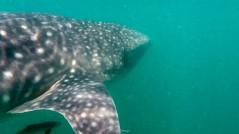 Saul Ortega - whale shark 2