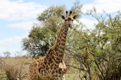 Jirafa - Parque Kruger Sudáfrica