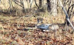 Cheetah - Game reserve Siduli Sudáfrica